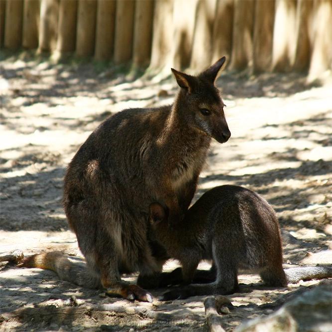 Zoo de la Barben wallabees