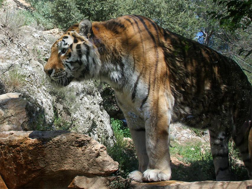Zoo de la Barben tigres