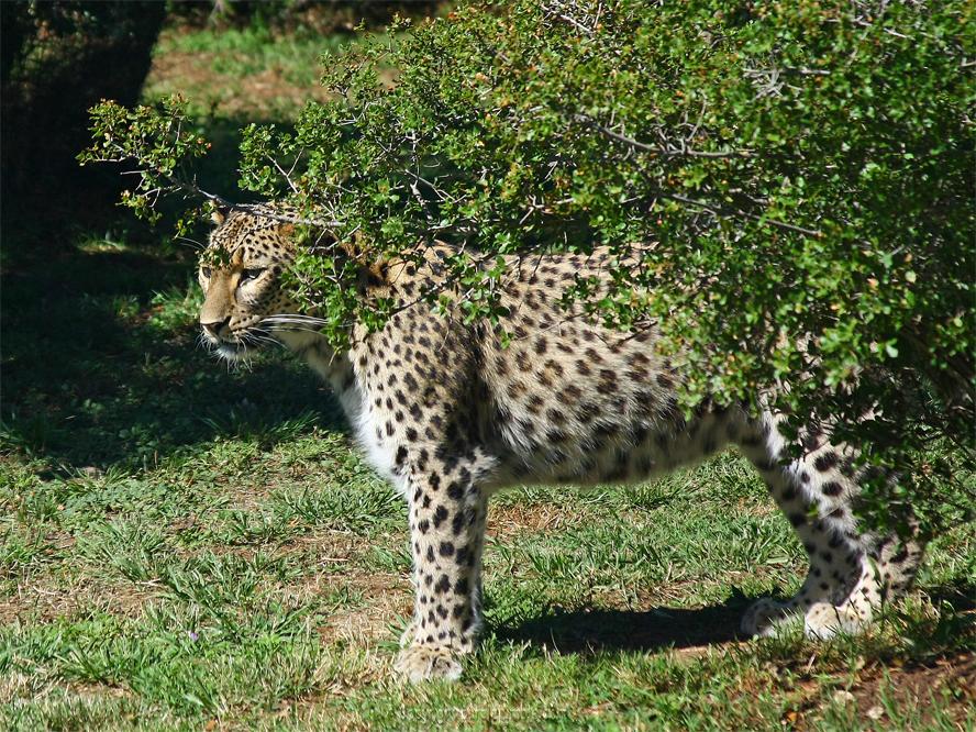 Zoo de la Barben panthères