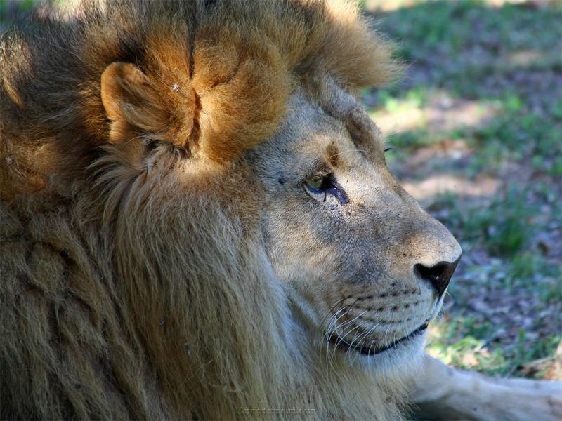 Zoo de la Barben lion