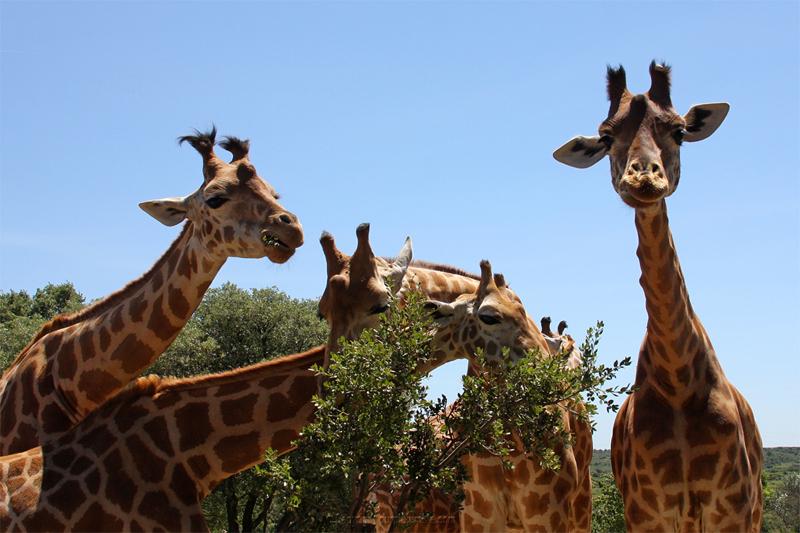 Zoo de la Barben girafes