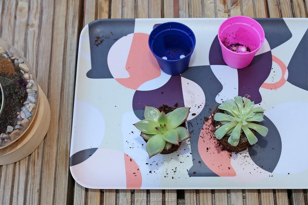 diy terrarium succulentes plantes